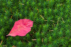 Contrast. Bright red autumn leaf on a green moss surface Stock Image