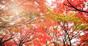 Contrast of autumn leave in Japan Stock Images
