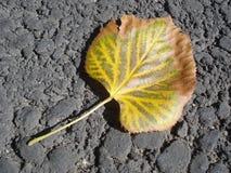 Contrast. Autumn linden leaf on asphalt Stock Photography