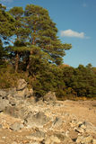 Contrast Autumn scene. Pine tree against blue sky with foreground rocks Royalty Free Stock Images