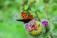 Contrast butterfly on a burdock. Wiggles his mustache and wings in the summer grass cover of the forest stock photography