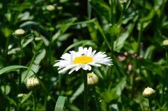 Contrast daisy Stock Photos