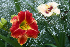 Contrast flowers of a hemerocallis/ Royalty Free Stock Images