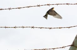 Contrast between harsh rusty barbed wire and fragile welcome swallow. Contrast between harsh rusty barbed wire and small fragile welcome swallow stock images