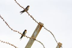 Contrast between harsh rusty barbed wire and fragile welcome swallow. Contrast between harsh rusty barbed wire and small fragile welcome swallow royalty free stock photo