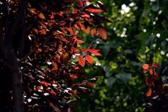Contrast image at the park with sunlight passing through the trees. Soft, little red leaves bathed with sunbeams in contrast with dark ones, over a green blurred Stock Photos