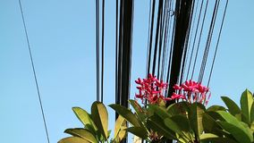 Nature and technology, Plumeria flowering tree and electrical power lines. Contrast between nature and technology, Plumeria tree and electrical power lines stock footage