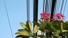 Nature and technology, Plumeria flowering tree and electrical power lines. Contrast between nature and technology, Plumeria tree and electrical power lines stock video footage