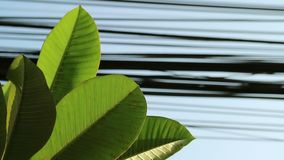 Nature and technology, Plumeria tree leaves and electrical power lines. Contrast between nature and technology, Plumeria tree leaves and electrical power lines stock footage