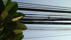Nature and technology, Plumeria tree leaves and electrical power lines. Contrast between nature and technology, Plumeria tree leaves and electrical power lines stock video footage