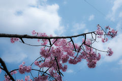 The Contrast of pastel color; Pink Cherry Blossom on Blue sky Royalty Free Stock Image