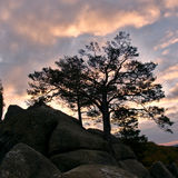 Contrast pines. In autumn landscape Royalty Free Stock Photography