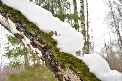 Contrast the snowy carpet of green moss and white birch bark in the winter forest. The woods after a snowfall. Old tree stock photo