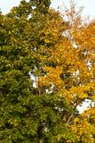 Contrast two trees. Contrast in the foliage of trees, one of which became yellow, and the second is still with green foliage, a photo closeup in autumn stock images