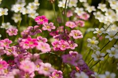 Contrast of white and purple primroses. In the Moscow countryside during the summer royalty free stock photos