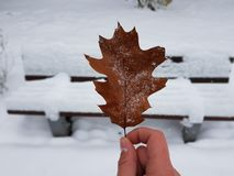 Contrast. Winter autumn rustyleaves brown royalty free stock photos