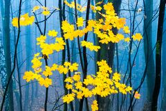Contrast of yellow leaves and mysterious fog in Europian autumn forest. Czech Republic, Europe royalty free stock photos