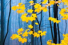 Contrast of yellow leaves and mysterious fog in Europian autumn forest. Czech Republic, Europe stock image