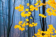 Contrast of yellow leaves and mysterious fog in Europian autumn forest. Czech Republic, Europe stock photography