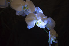 Contraste blanco y negro orquídea blanca y fondo negro Foto de archivo libre de regalías