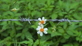 Contraste branco das flores do pedal com arame farpado Fotografia de Stock Royalty Free