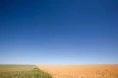Contraste de blé et de becs d'ancre photographie stock libre de droits