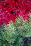 Contraste del color del pino y del arce japonés imagen de archivo