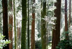 Contraste do Redwood imagem de stock royalty free