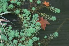 Contraste entre a grama verde da água e a folha vermelha no lago Fotografia de Stock