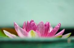 Contraste rosado de la flor de loto con el fondo verde Fotografía de archivo libre de regalías