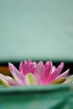 Contraste rosado de la flor de loto con el fondo verde Foto de archivo