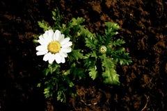 Contrasted Daisy Royalty Free Stock Photo