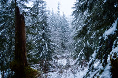 Contrasted Tree. Snowy forest with hundreds of pine trees with a trunk between them Stock Photos