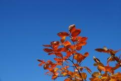 Contrastes en naturaleza, hojas del rojo y cielo azul fotos de archivo