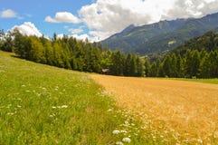 Contrastez entre un pré de marguerite et un champ de blé images libres de droits