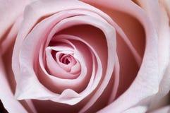 Contrastez la photographie d'un rose s'est levé papier peint de bureau romantique de pétales en gros plan de fleur photos libres de droits