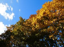 Autumnal diagonal background. Contrasting autumn background with diagonally arranged bright yellow maple foliage and a bright blue sky, autumn mood Royalty Free Stock Photo