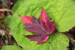 Stunning red Maple leaf on green leaf background. Contrasting autumn Maple Leaf Royalty Free Stock Photo