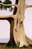 Contrasting Bonsai Tree Stock Photo
