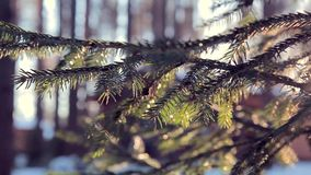 Contrasting branches of a coniferous tree through which the sun shines in winter stock video footage