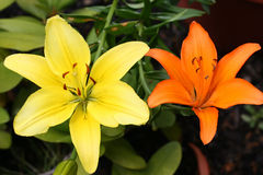 Contrasting Lillies. Yellow and orange lillies stock photography
