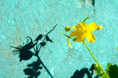 Contrasting yellow flower and turquoise wall stock photos