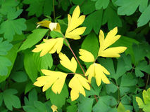 Contrasting Yellow Leaves on Green. Contrasting leaves of yellow against green Royalty Free Stock Photo
