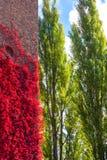 contrasto rosso selvaggio del fogliame del vino per inverdirsi gli alberi fotografia stock libera da diritti