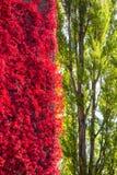 contrasto rosso selvaggio del fogliame del vino per inverdirsi gli alberi immagini stock