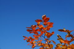 Contrasts in nature, red leaves and blue sky stock photos