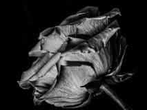 Contrasty роза стоковые изображения
