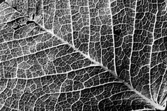 Contrasty texture of leaf veins Stock Photo