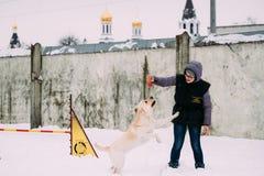 Contratan a la mujer joven al entrenamiento del perro Agilidad del perro Perro perdiguero de Labrador bonito Imágenes de archivo libres de regalías
