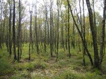 Contre-jour d'arbres de bouleau Image stock
